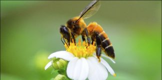 bees, honey bees, bumble bees